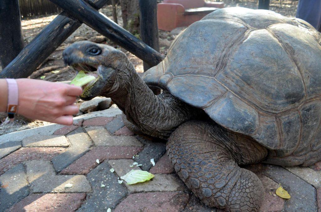 Karmienie żółwia sałatą