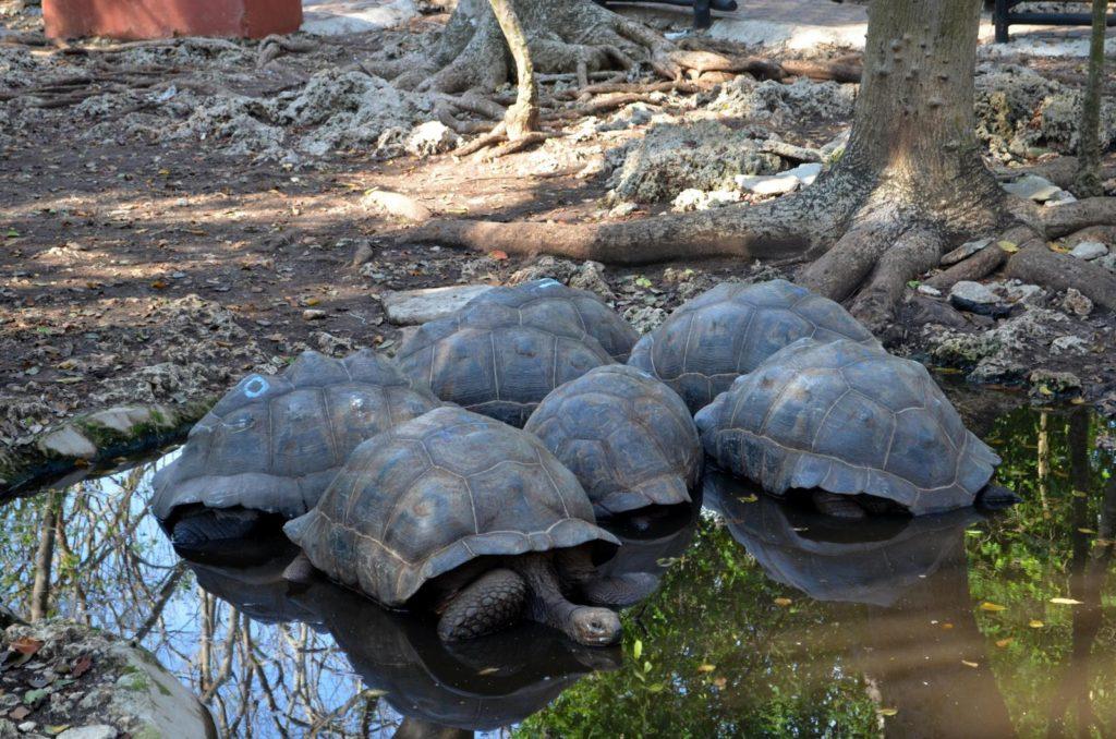 Skupisko żółwi